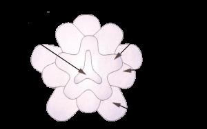 Структурная схема цветка броши